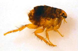 Una pulga de gatohttp://commons.wikimedia.org/wiki/File:Catflea_small.jpg