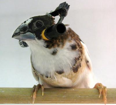 Un pinzón bengalí equipado con auriculares. La investigación sobre cómo los pájaros aprenden a cantar puede conducir a mejores terapias humanas para la rehabilitación vocal.