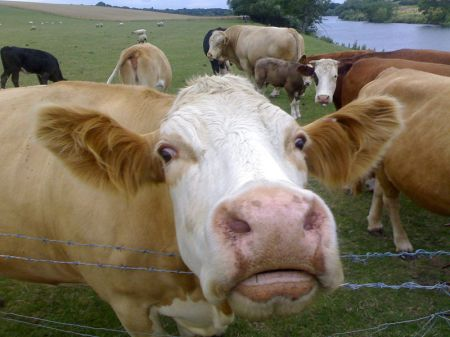 http://commons.wikimedia.org/wiki/File:CowFace.jpg