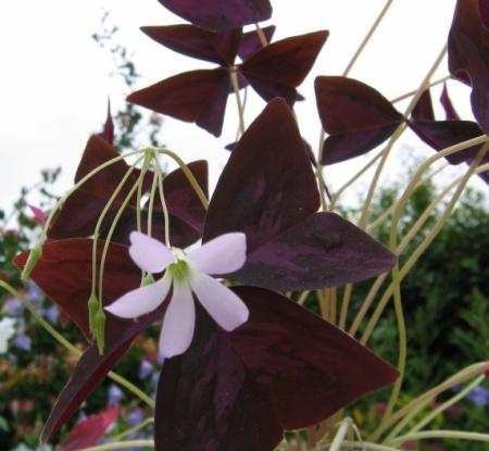 Oxalis regnellii http://commons.wikimedia.org/wiki/File:Oxalis-regnellii-atropurpurea.jpg