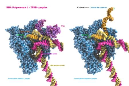 http://flagellum.wordpress.com/2014/02/28/secretos-cristalograficos-de-la-enzima-que-copia-nuestros-genes/