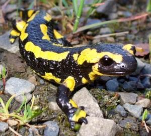 http://biogeocarlos.blogspot.com.es/2014/03/los-reptiles-y-anfibios-de-last-chaos.html
