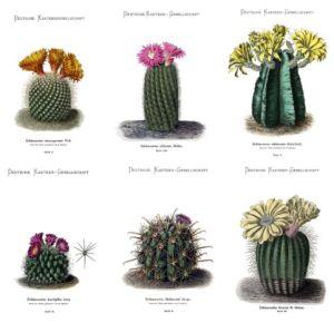 """Algunas imágenes de """"Blühende Kakteen (Iconographia cactacearum)"""" http://www.odisea2008.com/2012/03/cactus-ii.html"""