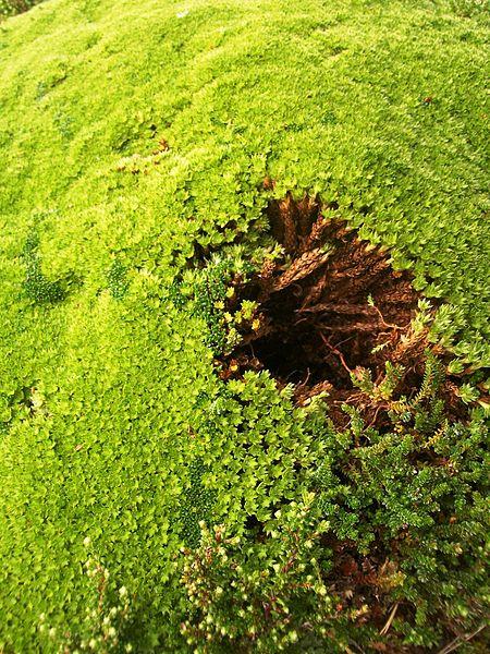 Claudio Elias,  Español: Arbusto de llareta en Tierra del Fuego, Argentina, 2012