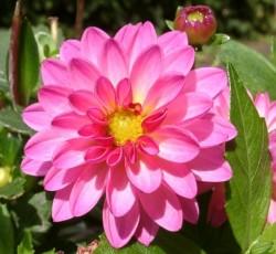 Dahlia 'Dahlstar Sunset Pink'