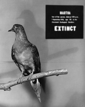 Cien años sin palomas migratorias