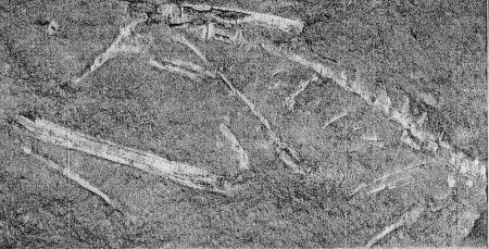 """Holotipo de """"Podokesaurus holyokensis"""""""