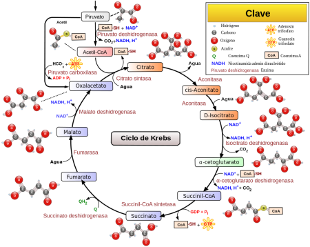 Esquema didáctico del ciclo de Krebs.