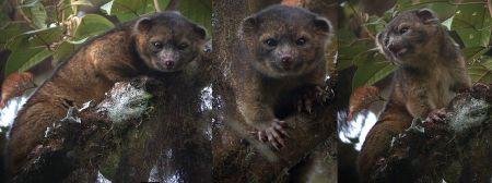 Tres imágenes de un olinguito en en Tandayapa Bird Lodge (Ecuador)