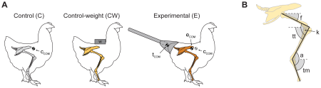 Walking Like Dinosaurs: Chickens with Artificial Tails Provide Clues about Non-Avian Theropod Locomotion