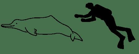 Comparación de tamaño entre un delfín chino y una persona.