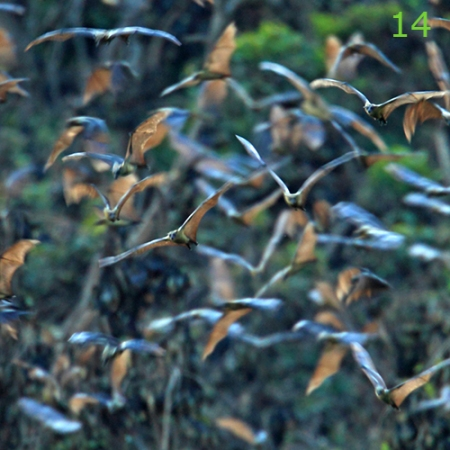 Día 14: Nocturnal furry fliers. © MPG Bats fly around the roost before taking off in the late afternoon.