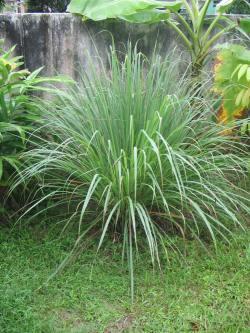 Cymbopogon-nardus