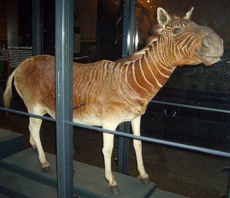 Ejemplar de cuaga, Naturkunde Museum, Berlin.
