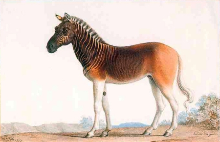 Quagga, an extinct equid. Water colour on vellum parchment by Nicolas Marechal (1753 -1802), painted at Paris in 1793 and illustrates the Quagga stallion of Louis XVI menagerie at Versailles.