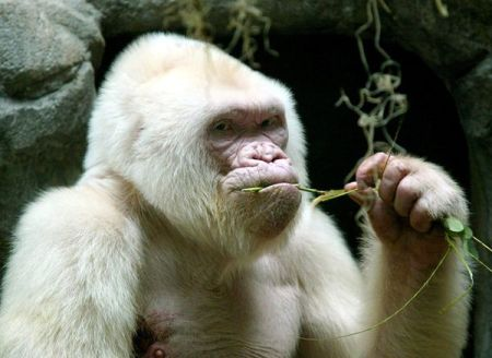 2. irudia: Copito de Nieve gorila albinoa zen.