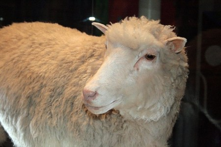 1. irudia: Dolly ardia, klonatutako lehen ugaztuna. 1996. urtean jaio zen eta hilda gero haren gorpua Eskoziako Errege Museoan dago erakusgai. (Argazkia: Wikipedia / CC BY-SA 2.0).