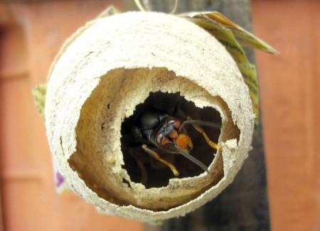 2. irudia: Vespa velutina erregina bat habia egiten udaberrian. (Argazkia: Francis Ithurburu, CC BY-SA 3.0 lizentziapean).