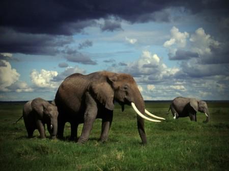 Irudia: Drogak elefanteengan duen eragina ikertzeko erabili zuten elefanteak Tusko izena zuen. 14 urte eta 3.200 kilo zituen eta 297 mg-ko dosia eman zioten. Bost minutura hil zen animalia. Dosia, 3.000 gizakik droga psikodelikoaren eragina probatzeko bestekoa zen.